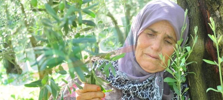 İznik'te Zeytin Ağacı Direnişi Başladı! Doğalgaz için zeytin ağaçlarını kesecekler
